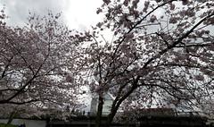 Portland Oregon March 2017 (Kayaker Bill) Tags: portlandoregon spring2017 downtown sonya7r rokinon15mm28lens cherryblossoms bridges people pacificnorthwest oregon willametteriver