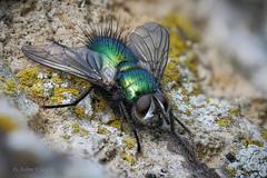 Eine Raupenfliege (Tachinidae) genießt die wärmenden Strahlen der Frühlingssonne (AchimOWL) Tags: zweiflügler schmeisfliege calliphoridae ngc macrodreams panasonic lumix postfocus stack stacking makro macro natur nature tier insekt animals insect fliege fly gx80 wildlife