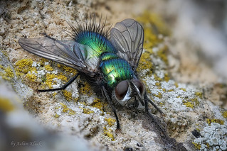 Eine Raupenfliege (Tachinidae) genießt die wärmenden Strahlen der Frühlingssonne