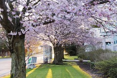 Cherry Blossoms- Vancouver (yuanxizhou) Tags: earlyspring earlymornings spring britishcolumbia richmond vancouver nature weekend street city amazing beautiful sunrise light morning cherryblossoms flower