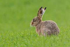 Hare March 2017 (a) (jgsnow) Tags: animal hare ngc npc