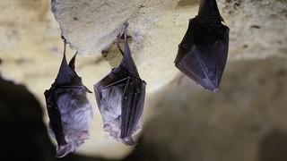 Lesser horseshoe bats (Rhinolophus hipposideros)