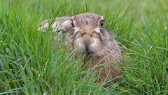 Brown Hare (image 1 of 3) (Full Moon Images) Tags: wildlife nature east anglia fens animal mammal brown hare