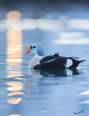 King eider and harbour lights (MatsOnni) Tags: kyhmyhaahka kingeider somateriaspectabilis båtsfjord linnut birds norway