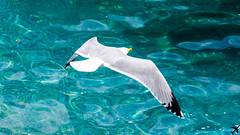 Seagull (bonfa23) Tags: seagull sea water nature natura tamron nikon d7000 nikond7000 light bellissimagiornata bellissimo blue beatiful love like luce liguria san fruttuoso