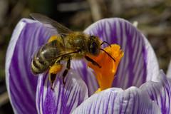 Just Add Sunshine (brucetopher) Tags: honey bee flower pollen crocus purple collect honeybee nectar orange 7dwf