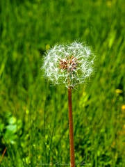 Dandelion (Alejandro Hernández Valbuena) Tags: blow enjoyment seed spring fly walk sunlight weed beauty breeze flower nature bright flying liberty beautiful dandelion heaven background summer environment wish flora sun breath