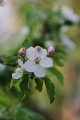 Apple Blossoms (Inka56) Tags: 7dwf hbw apple blossoms appleblossoms closeup droplet