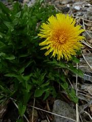 Dandelion (Chancelrie) Tags: outdoor plant pacificnorthwest vancouver britishcolumbia kitsilano