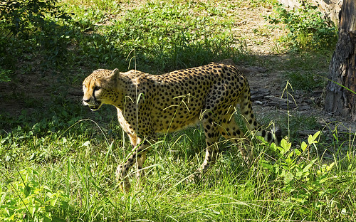 Memphis Zoo 08-31-2016 - Cheetah 7