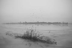 birds are coming back (Mindaugas Buivydas) Tags: lietuva lithuania bw delta nemunasdelta thaw mood moody minimalism minimal bird birds reed nemunas rusnė rusne nemunodeltosregioninisparkas nemunasdeltaregionalpark mindaugasbuivydas
