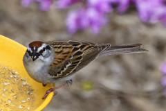 House Sparrow (gdgolle3088) Tags: birdfeeders garden spring smallbirds sparrow backyard