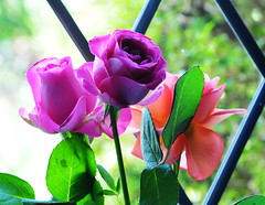 DSC_6722 (PeaTJay) Tags: nikond300s sigma reading lowerearley berkshire macro micro closeups gardens indoors nature flora fauna plants flowers rose roses rosebuds