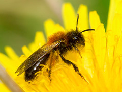 Andrena (Euandrena) bicolor (Gwynne's Mining-bee) / female