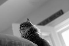 mazey-4 (MyMazeyCat) Tags: cat cateye cats siberiancats catface catwhiskers