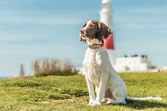 Toby at the Portland Bill Lighthouse (JayKirkPhotography) Tags: springer englishspringerspaniel springerspaniel devon dorset lighthouse coast portrait puppy dog portlandbill portland canon 50mm bokeh