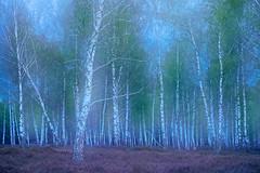 dreamscape of birches ... (Sandra Bartocha) Tags: sandrabartocha birches dreamscape spring birchwood heathland