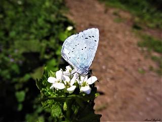 Butterfly 1207