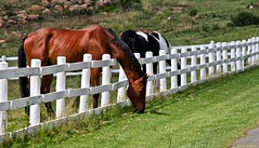 The grass is always greener on the other side of the fence (In Explore) (Johann (Sasolburg, RSA)) Tags: horse perd fence hff fencefriday explore 7dwf