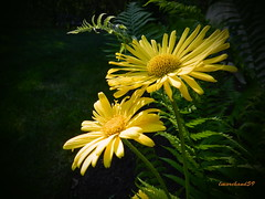 Reflections of Sunlight. (lmarchand59) Tags: flowers ferns lions bane yellow perennial