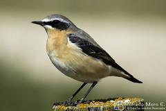 Collalba gris macho ( Oenanthe oenante), (Esmerejon) Tags: collalbagris collalbagrismachooenantheoenante aves naturaleza pájaros