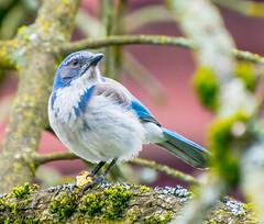 The Look out. (Omygodtom) Tags: scrubjay bokeh bird outdoors urbunnature usgs urban wildlife wild nikon70300mmvrlens flickr existinglight explorer d7100 portrait dof pov park