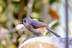 Tufted Titmouse (backyardzoo) Tags: bird titmouse tufted
