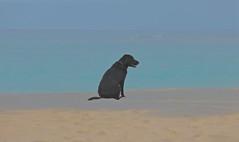It's a Dog's Life (smilla4) Tags: dog canine labradorretriever blue caribbean thejamaicainn ochorios jamaica