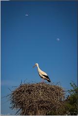 la lune, l'avion et la cigogne... (jamesreed68) Tags: bleu avion 68 ciel lune cigogne nid alsace hautrhin france nature oiseau animal wuenheim paysage