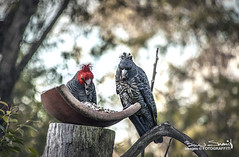 IMG_2071 (CrazyNotion (wandering and wondering)) Tags: birds east eastkurrajong ganggang kurrajong ben sharif