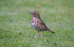 Song Thrush LB Garden16-04-2017-3730 (seandarcy2) Tags: thrush song bedfordshire uk garden birds