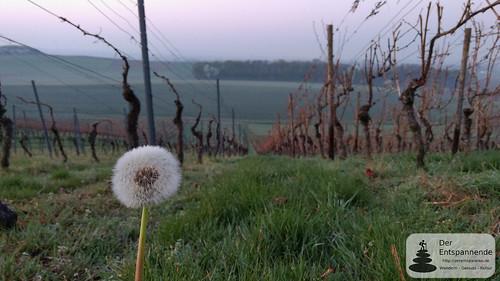 Pusteblume in den Weinbergen über Selzen
