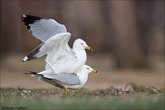Ring-billed Gulls Mating (Daniel Cadieux) Tags: gull ringbilledgull couple pair breeding copulating mating ottawa spring two love reproducing wings