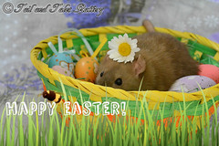 Happy Easter! (Giulia Gasparoni) Tags: happy easter happyeaster easter2017 2017 spring season seasonal daisy flower flowers cute sweet rat rats pet pets animal animals nature petrat petrats eggs burmese furry friends furryfriends love friendship