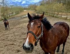'A DAY AT THE RACES' (LARSERAQ) Tags: aarhus 2017 jydskvæddeløbsbane horses race queen adayattheraces cameraphone iphone 7 plus larseraq