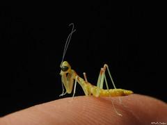 Nymph praying mantis (Geminiature Nature+Landscape Photography Mallorca) Tags: macro raynox250 raynox dcr bidsprinkhaan prayingmantis nymph nymphe nymphs tiny little small nacido born mantodeo mantodea mantis baby bebé