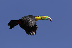Keel-billed Toucan (Greg Lavaty Photography) Tags: keelbilledtoucan ramphastossulfuratus costarica march flight toucan bird nature wildlife monteverde tropical neotropical outdoors photographytrip