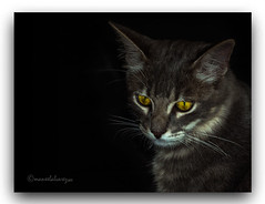 OLLOS  DE  MEL. (manxelalvarez) Tags: ollosdemel ojosdemiel olhosdemel miradas ojos gatos felinos