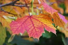 Fall Leaf Closeup (Ms Michelle Snaps) Tags: trees fall leaves newfoundland stjohns fallcolours