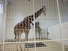 """Two Giraffes • <a style=""""font-size:0.8em;"""" href=""""http://www.flickr.com/photos/34843984@N07/14919140204/"""" target=""""_blank"""">View on Flickr</a>"""