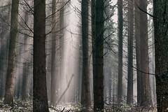 coniferous (farbstich.) Tags: morning sun fog forest 50mm nebel wald spruce fichte douglasfir douglasie