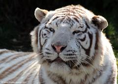 IMG_2570 (SylBon) Tags: tigre parcdesflins tigreblanc