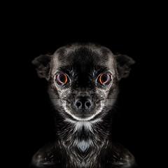 Jour 25 / la chiMre Mexicaine (EMEM Manuel Martinez) Tags: dog chien canada chihuahua 50mm noir montral f14 sony symmetry days qubec axel 365 alpha lowkey blanc longueuil a77 symtrie femelle fondnoir 365daysproject symmetrycal alpha77 sonyalpha77