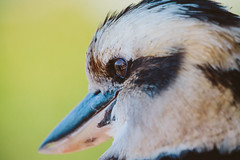 (michael.mcc) Tags: bird beach australia heads queensland goldcoast burleigh kookaburrah