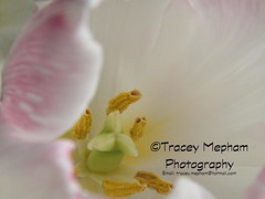 Tulip 13 (traceymepham) Tags: lighting pink flowers light sun sunlight white reflection photography reflecting petals shiny soft pretty tulips andover pale petal reflect stamen finepix tulip translucent fujifilm pollen tracey shining tranquil gentle mepham hs30exr