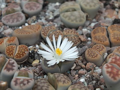 DSCF0385 (BobTravels) Tags: plant stone bob lithops lithop messem bobwitney