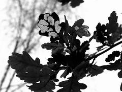 Verfall / Decay (DanielHiller) Tags: oak decay laub leafs bltter eiche verfall