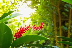 Hawaiian Red Ginger (IanLudwig) Tags: canon photography hawaii kauai wailua tog togs lydgate niksoftware hawaiiphotos vsco cep4 canon5dmkiii hawaiianphotography canon5dmarkiii ianludwig adobephotoshopcc