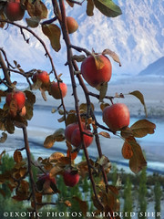 Apple Tree - III (C@MARADERIE) Tags: autumn pakistan color apple nature vertical fruit flora colorful nopeople dozen appletree colorimage skardu autumnalscene ptdc    skarduvalley ptdcmotel    12apples