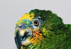 "Our bird - she is  called ; ""AMIGO"" - lol. (eagle1effi) Tags: orange green slr bird photography amigo 50mm amazon nikon nef foto fotografie parrot filter photograph fotos sample nikkor dslr winged tiff closer cp2 amazone papagai spiegelreflexcamera eagle1effi nikonbest handselected d5100 nikond5100 nikond5100dslr nikonafsnikkor1850mmg bestofnikond5100 d5100best bestofd5100"